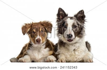 Border Collie dog , 1 year old, and Border Collie puppy , 3 months old, lying against white background
