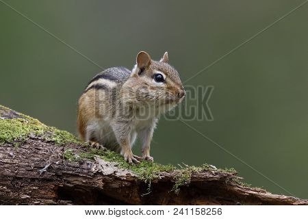 Eastern Chipmunk (tamias Striatus) - With Its Cheek Pouches Full Of Food Sits On A Mossy Log - Lambt