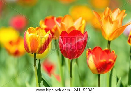 Colorful Tulips Flowers Blooming In A Park Close Up.