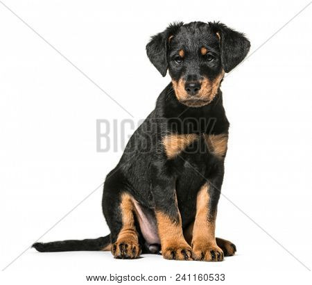 Mixed-breed dog , 2 months old, sitting against white background