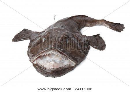 Whole Fresh Monkfish