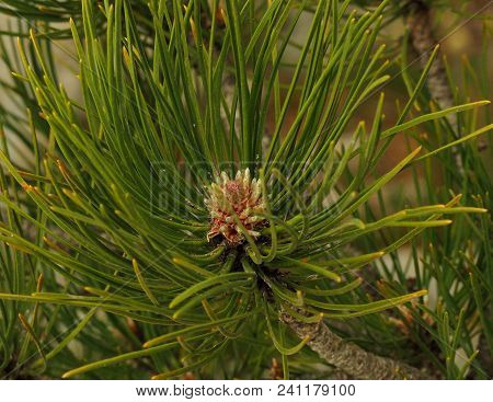 Green Pine Branch Close Up. Crimea Inflorescence