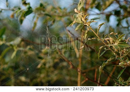 Argiope Bruennichi Is A Species Of Orb-web Spider Distributed Throughout Central Europe, Northern Eu