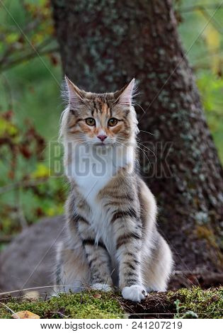 Norwegian Forest Cat Female Sitting Beside A Tree
