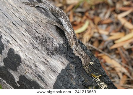 Western Bearded Dragon, Pogona Minor, Photo Was Taken In The Stokes National Park, Western Australia