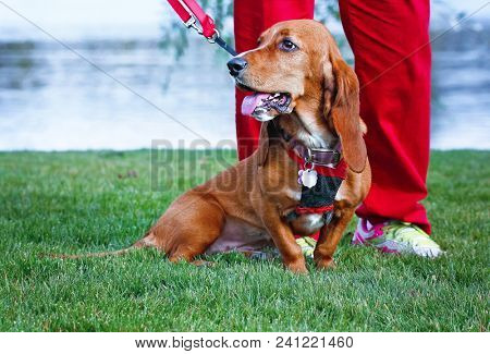 happy basset hound panting with her tongue out on fresh green grass and her owner holding a leash on a hot summer day