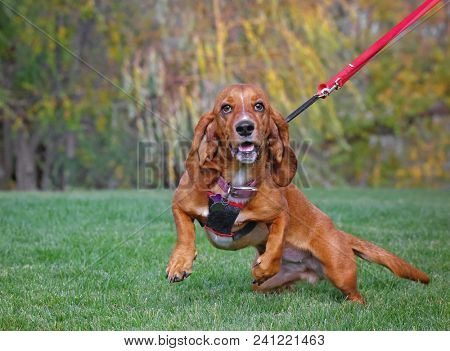 happy basset hound on fresh green grass and her owner holding a leash on a hot summer day