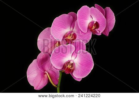 Close-up Of Pink Orchid (orchidaceae) Flower On The Black Background. Macro Photography Of Nature.