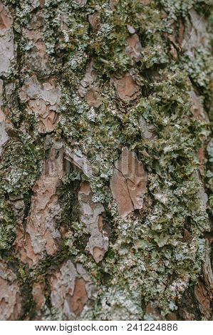Close Up View Of Moss On Pine Tree Bark As Texture And Background. Organic And Natural Life Texture