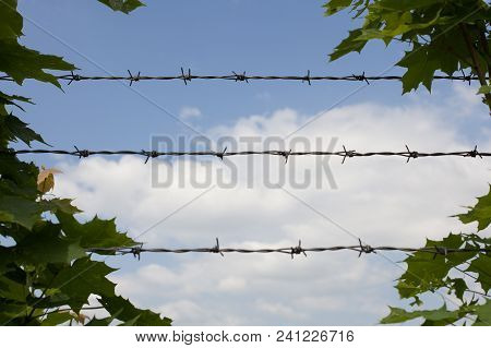 Barbed Wire And Green Leaves.maple Leaves Woven Into Barbed Wire.