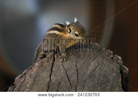Close-up Of Little Striped Common Chipmunk On The Tree. Photography Of Wildlife.