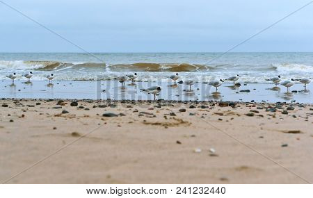 Waterfowl On The Sea Coast, Sea Coast Seagulls And Stones, Seagulls Fat On The Sea Coast