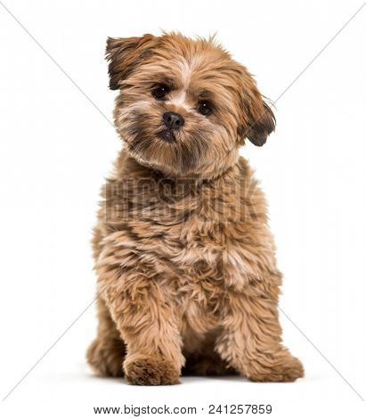 Lhasa apso dog, 8 months old, sitting in front of white background