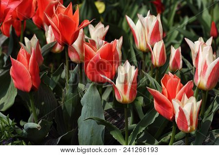 Multicolor Tulip Flowers In The Spring Garden. Photography Of Nature.