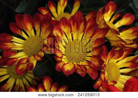 Close-up Of Multicolor Red-yellow Aster Flowers In The Summer Garden. Photography Of Nature