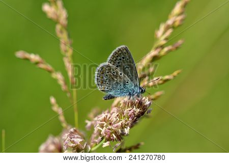 Close-up Blue Lycaenidae Butterfly On The Meadow Wildplant. Photography Of Wildlife.