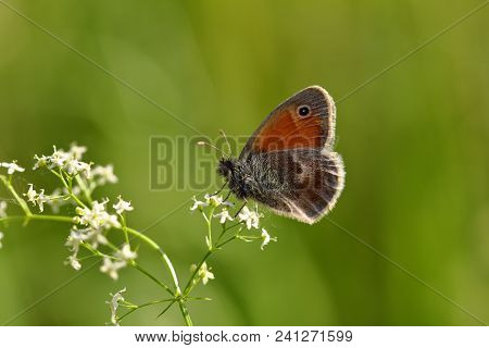 Close-up Brown Lycaenidae Butterfly On The Meadow Wildplant. Photography Of Wildlife.