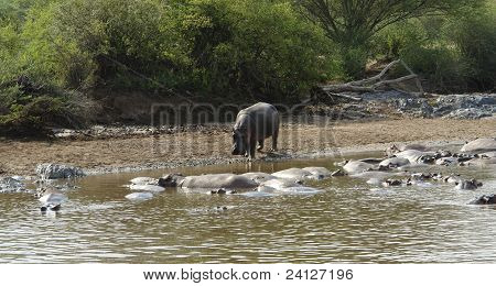 outdoor shot of a Hippo waterside in Tanzania (Africa) poster