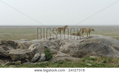 Cheetahs on small rock formation in Tanzania (Africa) poster