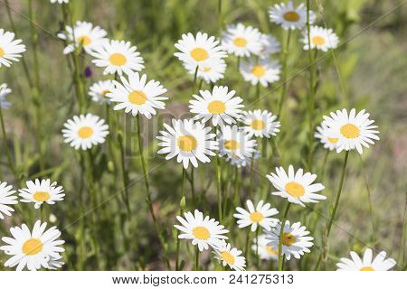 Bellis Perennis, Grass Full Of White And Yellow Daisy Flowers During Spring