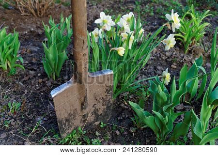 Narcissos flowers and shovel, gardening concept
