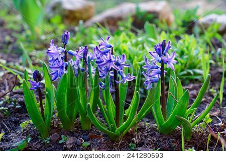 Blue hyacinth blooming in garden, spring time