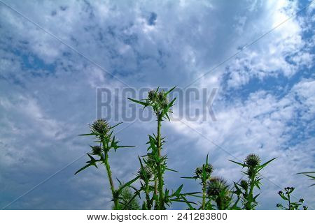 Garden Prickly Plant Against The Sky, Russia