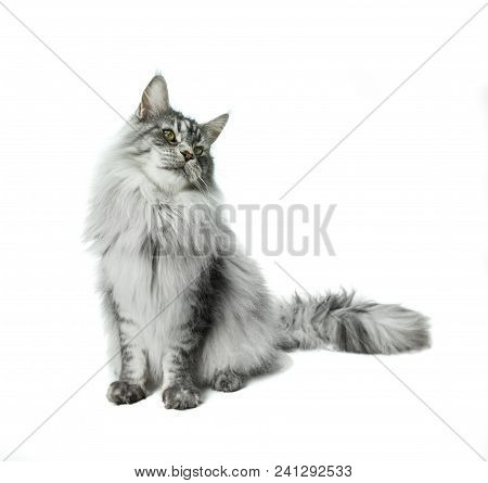 Maine Coon Sitting And Looking Away, Isolated On White Background