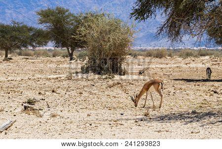 Dorcas Gazelle (gazella Dorcas) Inhabits Nature Desert Reserve Near Eilat, Israel. Expanding Human C