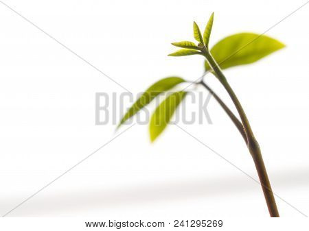 Bud Leaves Of Young Plant Seedling Isolated On White Background