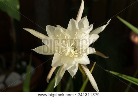 Macro Profile Backlit White Flower Queen Of Night Epiphyllum Oxypetalum, Nocturnal Very Fragrant Flo