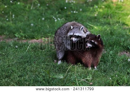 Portrait Full Body Of Paar Lotor Common Raccoon. Photography Of Wildlife.