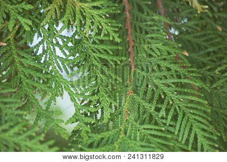 Texture Green Leaves Thuja Orientalis Or Pine Tree Branch For Background Close-up Soft Focus.