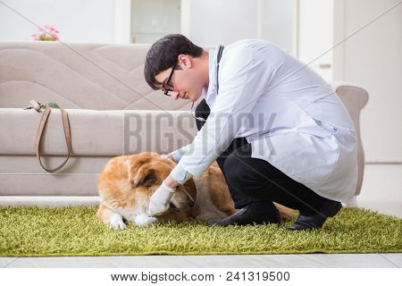 Vet doctor examining golden retriever dog at home visit