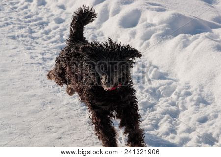 Black Poodle Briskly Runs Through The Snow In The Daytime.