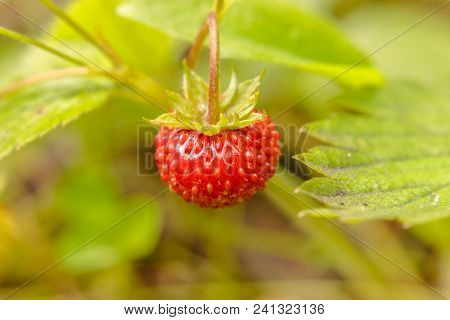 Organic Wild Ripe Strawberry In Forest.macro Shot, Focus On A Foreground, Blurred Background