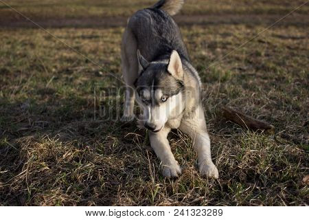 Husky On Dry Grass In Spring And In The Daytime.