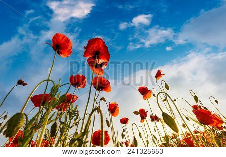 Field Of Red Papaver Flower With Sunburst Shot From Below. Beautiful Nature Background Against The B