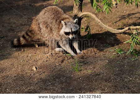 Portrait Of Lotor Common Raccoon Next To The Tree. Photography Of Wildlife.