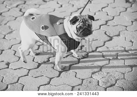 Dog Or Pugdog In Red Coat Walk On Pavement On Sunny Day Outdoor. Pet Fashion Concept. Friend, Compan