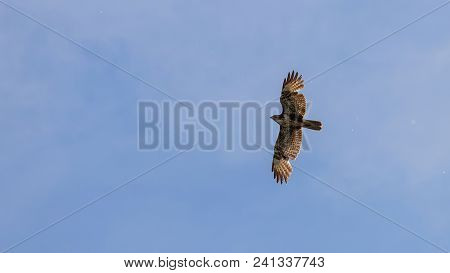 Common Buzzard Flight. Buteo Buteo.