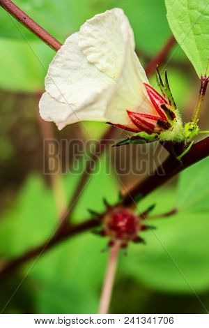 Full Bloom Of Rosella Flower Surrounding By The Green Leaves