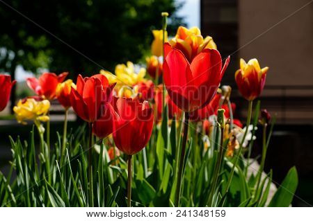 Red And Yellow Tulip Garden Outside Riquewihr, Alsace