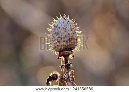 Dry And Closed Toxic Datura Seedpod With Thorns At The Sunset