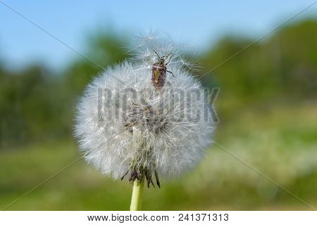 Stinky Bug (acanthosomatidae) Climbs Out Of The Dandelion