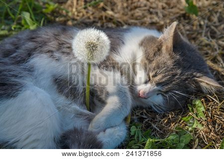 The Gray Cat Sleeps Embracing A Dandelion