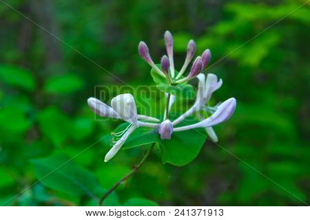 The Honeysuckle Flower Photographed On Green Background