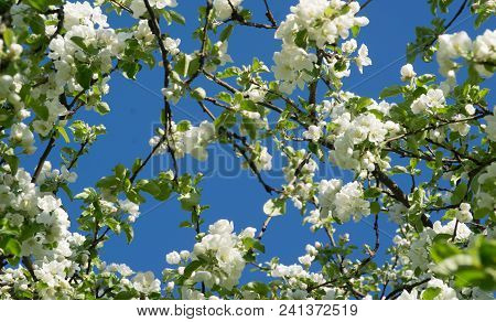 Background From Branches Of Apple Trees With White Flowers On Blue Sky Background
