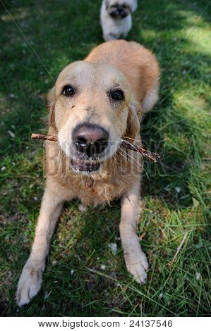 Cute Healthy Golden  Retriever Dog Walking On Green Meadow Outdoors