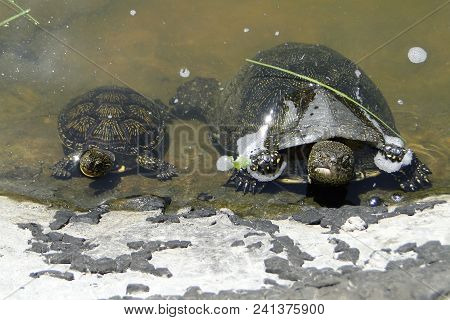 Close Ups View Of Two Turtles. The European Pond Turtle (emys Orbicularis), Also Called The European